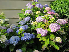 endless summer hydrangea late spring