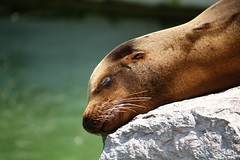 La foca (grandemahatma) Tags: sun animal animals zoo sleep seal foca emmen fica alessandrocrippa