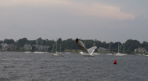 Seagull at Bristol Harbor