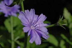 Chicory (Go 4 IT) Tags: flowers blue summer pentax blossom kit 365 amateur bucharest lenses k7 floralfantasy kitlenses flickraward amazingdetails kitlenspentax pentaxk7 floralfantasygroup silveramazingdetails evghenitirulnic