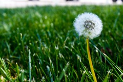 Make a Wish (Nehm Guillen) Tags: dandelion wish wishflower wishingflower