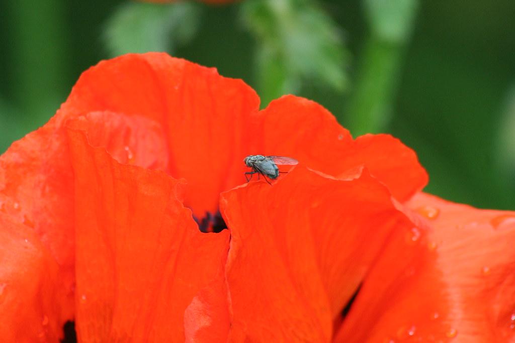 En flue