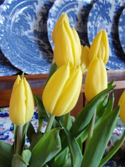 yelloe tulips 2