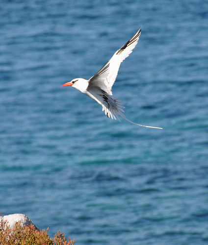 Galapagos Redbill