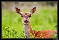 Red deer (a3aanw) Tags: reddeer edelhert oostvaarderplassen