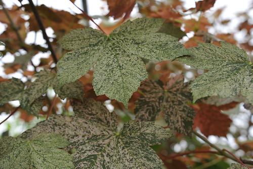 Acer pseudoplatanus 'Esk Sunset' aka Sycamore Maple