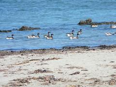 P1360007 Brant Geese (armadil) Tags: mavericks beaches californiabeaches birds waterfowl waterbirds brantgeese geese juggle062010
