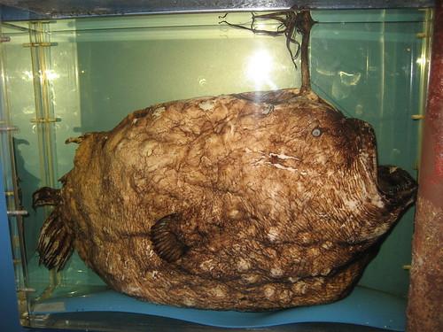 Himantolophus groenlandicus (lateral)