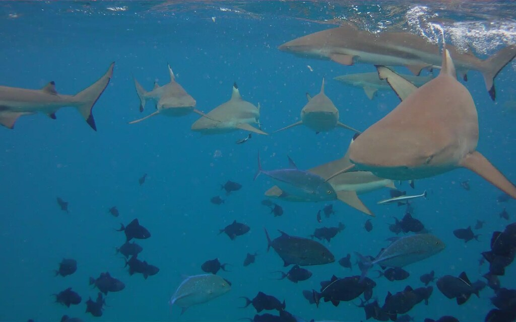 Bora Bora Sharks! only 8 of em! by jonrawlinson, on Flickr
