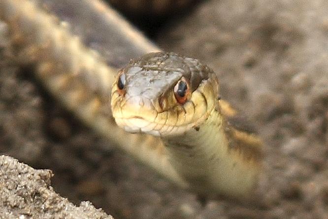 Common garter snake (11)