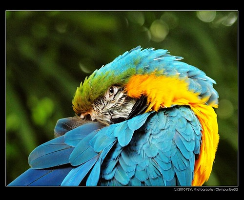 Art, the Blue-and-gold Macaw (Ara ararauna)