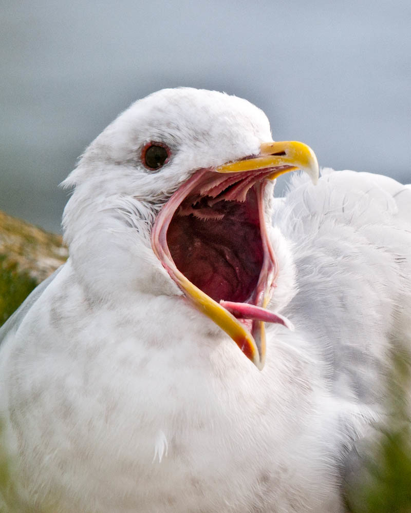 The World\'s newest photos of seagull and tongue - Flickr Hive Mind