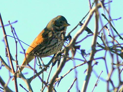 Fox Sparrow 20101029