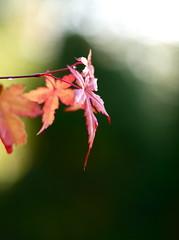 Acer (Dsam7) Tags: leica autumn fall japanese maple bokeh olympus acer 50 leitz summicronr e450 copyrightdsam7