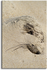 The sands of time... (aaardvaark) Tags: loss death sad australia seal vic survival croajingalong thurrariver 201010010349