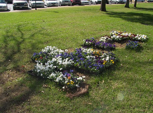 Flats of Pansies  Yet to be Planted on Lipscomb University's Campus