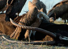 Vultures and Sable Carcass, Chobe National Park, Botswana.
