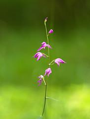 BQ9E3673 Rød Skovlilje orkide + (hannelunding) Tags: rødskovlilje orkide alindelillefredskov sjælland danmark