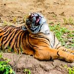 Sumatran Tiger's Cub : スマトラトラのパンプ thumbnail