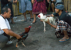Cockfighting in a temple, Bali island, Canggu, Indonesia (Eric Lafforgue) Tags: action adult adultsonly aggressive animals asia asian bali bali1552 balinese bet betting birds blood bloodsport chickens cockfighting cockfights cocks cruel cultural domestic feathers festival fight fighting gamble gambling horizontal illegal indonesia indonesian menonly roosters sarung sport traditional canggu baliisland