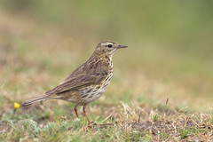 Meadow Pipit (Rob Christiaans  Nature and Wildlife) Tags: canon5dmkiii canonef500mmf4is meadowpipit bird wildife hogeveluwe veluwe nationaalparkdehogeveluwe graspieper anthuspratensis luminositymasks