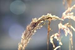 Details matter (Alexandra Kfr) Tags: plant bokehs light luminous blue yellow blur outside nature cold winter nikon d3100 50mm
