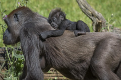 Gorillababy (DeanB Photography) Tags: zoo hannover zoohannover tiere tier tierwelt tierpark gefährlich gorilla gorillaberg erlebniszoohannover elefanten ef100400l canon 7dmkii animal animals affen