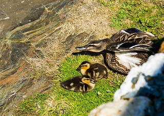 A Protective Mallard with her young
