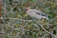 HNS_1006 Pestvogel : Jaseur boreal : Bombycilla garrulus : Seidenschwanz : Bohemian Waxwing