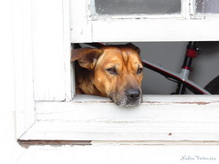 Observando/ Watching (nadia.veronica) Tags: dog cachorro window janela