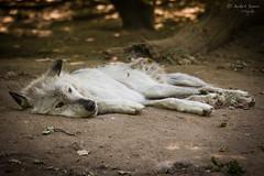 Weißer Timberwolf (ab-planepictures) Tags: wolf tier animal zoo zoom gelsenkirchen