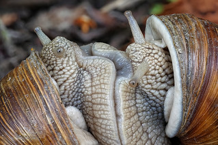 Zwei Weinbergschnecken (Helix pomatia) beim Liebesspiel