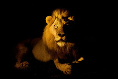 The Ghost in the Darkness.. (hvhe1) Tags: africa 2 wild male nature night cat southafrica searchthebest wildlife fear lion ab safari bigcat week predator roar mapocho malamala rattray specanimal hvhe1 hennievanheerden mlowathi eyrefield