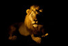 The Ghost in the Darkness.. (hvhe1) Tags: africa wild male nature night cat southafrica searchthebest wildlife fear lion safari bigcat predator roar mapocho malamala rattray specanimal hvhe1 hennievanheerden mlowathi eyrefield