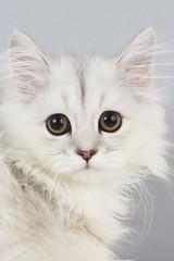 Silver Persian Chinchilla Kitten