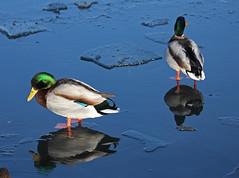 ducks (Chester's Mate) Tags: winter reflection male bird ice water mirror frozen duck pond mallard top20colorpix