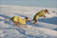von Yvonne Gerlach: Whippets-im-Schnee
