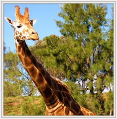 Gerry (Dozzam:)) Tags: africa trees nature animal neck melbourne victoria stretch tall giraffe werribee openrangezoo