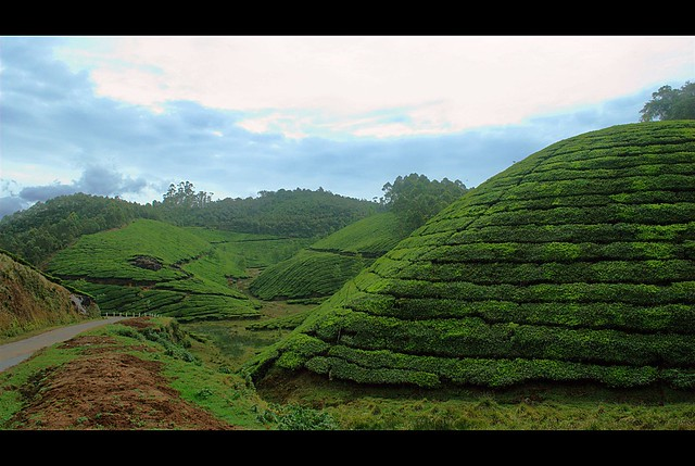 The tea county
