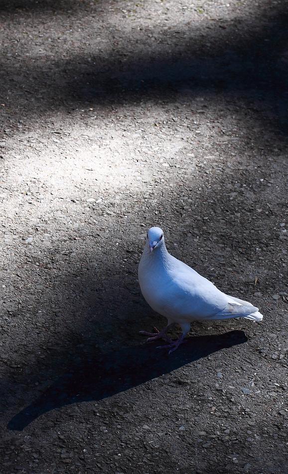 胖到飛不起來的鴿子