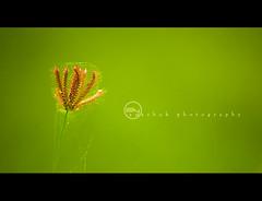 Dance of Green (ayashok photography) Tags: india grass asian nikon asia indian desi roadside bharat bharath desh barat barath nikonstunninggallery nikkor55200mm nikond40 geens ayashok somnathpur324