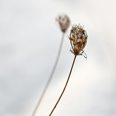 Soft Shadow (Jason (Audrey's Dad)) Tags: winter flower oregon december bokeh dried 2009 hillsboro stalk