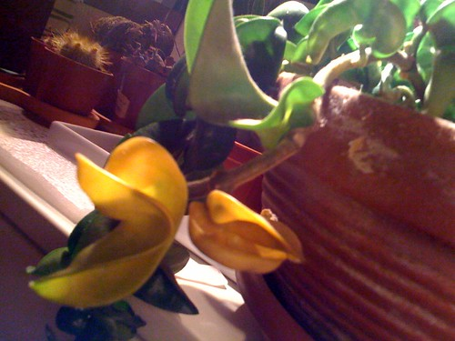 Hoya Carnosa Foglie Gialle Marce Forum Di Giardinaggio It