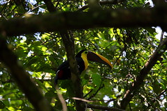 Chestnut Mandibled Toucan (Ramphastos swainsonii) (jrothdog) Tags: birds toucan costarica dominical haciendabaru ramphastos chestnutmandibledtoucan ramphastosswainsonii swainsonii