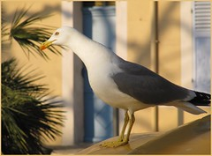 Goland - Seagull - Gaviota (Pantchoa) Tags: mer jaune canon marseille couleurs seagull marin provence bec gaviota oiseau plumes quartier grises panier blanches mditerrane goland lepanier bouchesdurhne ocres noires orang sudest golandleucophe provenales powershotsx200is