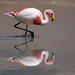 Laguna Flamingo hunts for lunch - Click thumbnail for image options