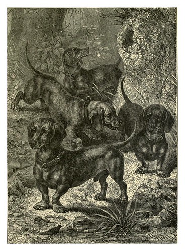 007-Terrier tipo Dachshund-The illustrated book of the dog 1881- Vero Kemball Shaw