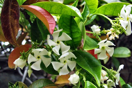 Trachelospermum jasminoides (rq) - 02