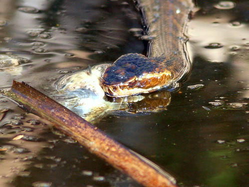 Cottonmouth Attacks Dead Fish 20100118
