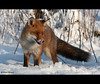 Fox (Explore) (Alex Verweij) Tags: winter wild snow eye netherlands animal canon europe forrest tail 14 sneeuw hunting explore lucky fox vixens hungry bos tong foxes flevoland sum almere vos extender staart wildernes reynard 70200mmf28is specanimal 40d abigfave dedoka alexverweij